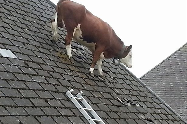 cow-on-a-roof